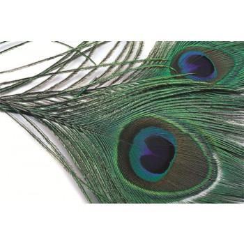 Påfågel (Peacock)